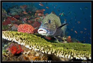 Sweetlips on the coral... by Ahmet Yay 